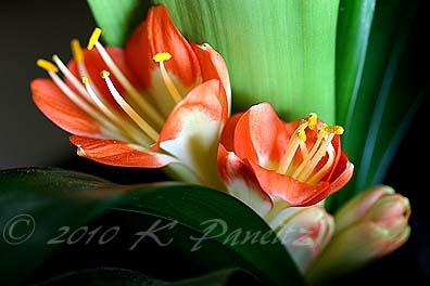 Clivia blooms5