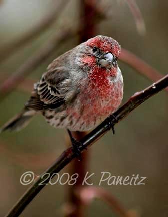 Finch4