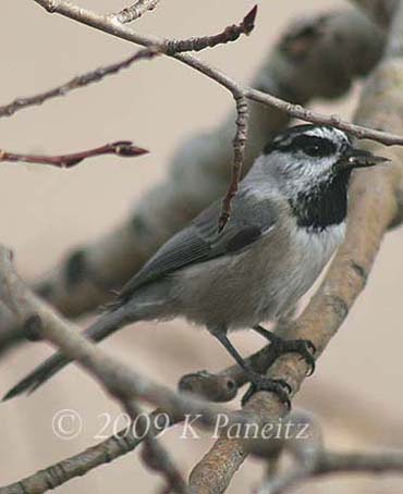 Mountain Chickadee2