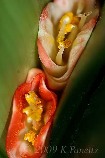 Clivia blooms