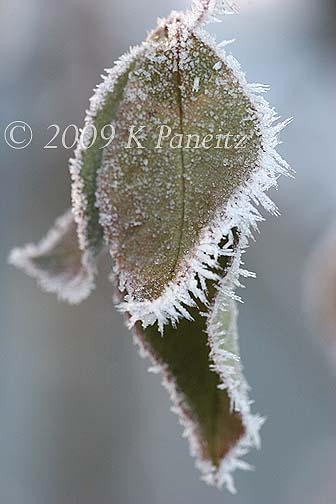 Frosted Rose Leaves