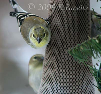 Winter goldfinches