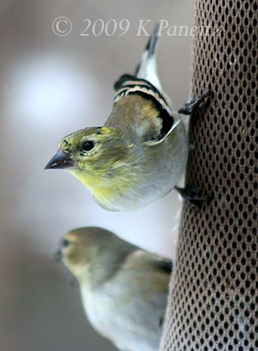 Winter goldfinches1