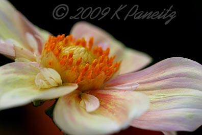 Dahlia 'Apple Blossom'2