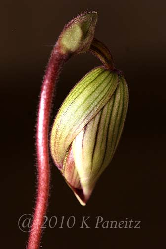 Paph Orchid Bud4