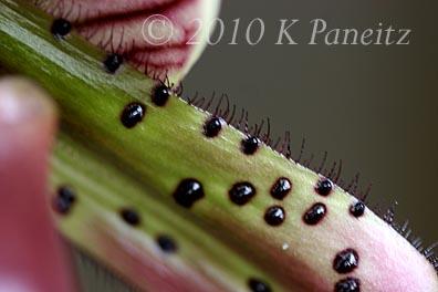 Paph Orchid Bloom2
