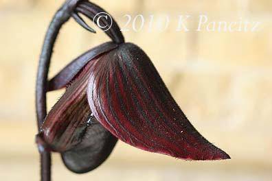 Paph Orchid 'Lasco'