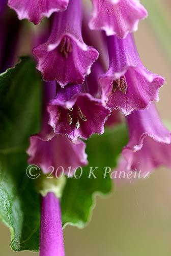 Violet Tubeflower7