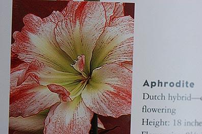 Amaryllis 'Aphrodite'3