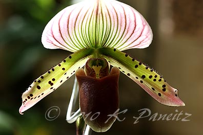 Paph Orchid Bloom3