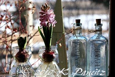Hyacinths in kitchen window1