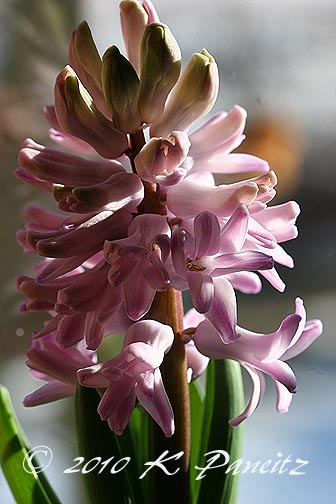 Hyacinth forcing4