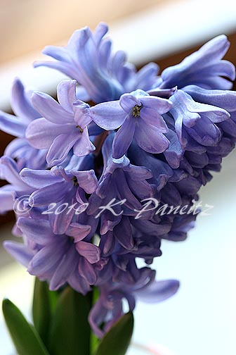 Hyacinth forcing7