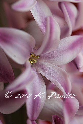 Hyacinth forcing8