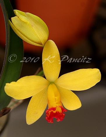 Orchid Alvin Beggman Poem1
