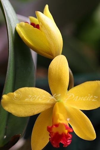 Orchid Alvin Beggman Poem3