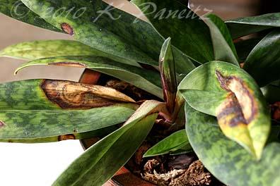 Orchid Sun Scald