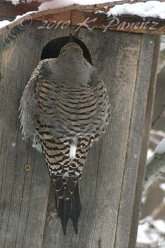 Flicker on nestbox1