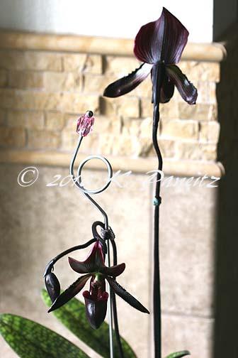 Paph Orchid 'Lasco'10