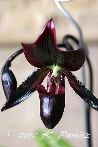 Paph Orchid 'Lasco'11