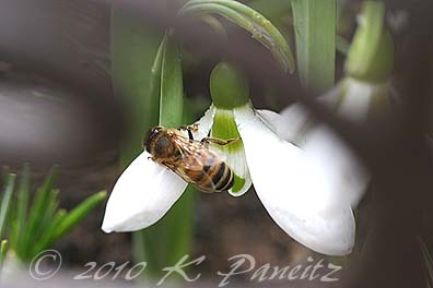 Galanthus with honeybee