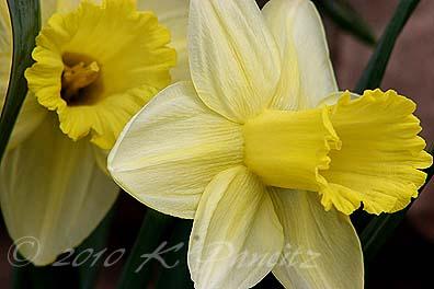 Daffodil 'lemon glow'2