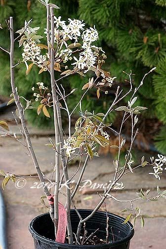Amelanchier xgrandiflora