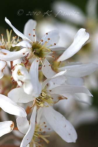 Amelanchier xgrandiflora1
