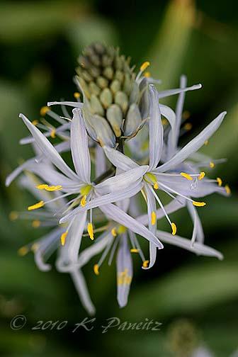 Camassia Bloom1