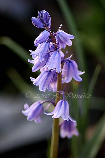 Blue Spanish Bluebells1