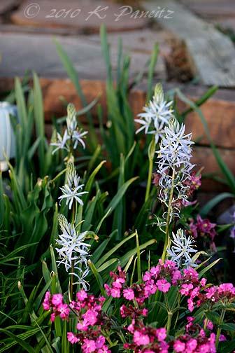 Camassia Bloom2
