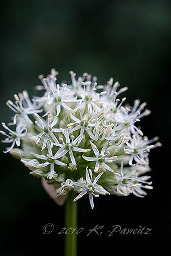 Allium 'Mont Blanc'1