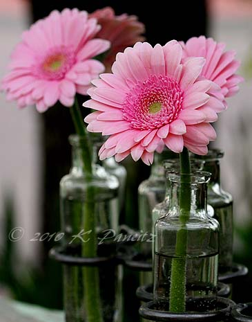 Gerbera daisies1