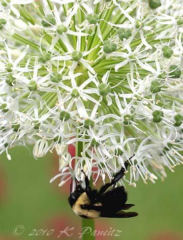 Allium 'Mont Blanc'2