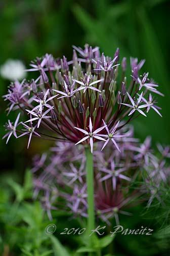Allium 'christophii'1