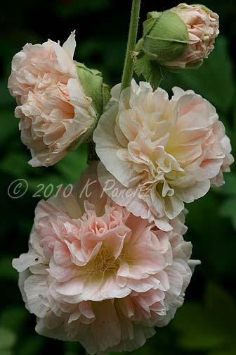 Alcea 'Peaches and Dream'