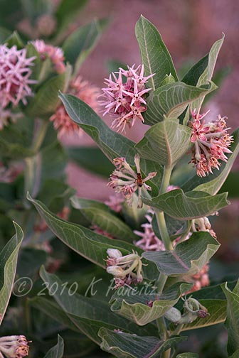 Equalizer Lake milkweed