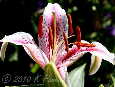 Oriental Lily 'Dizzy1'