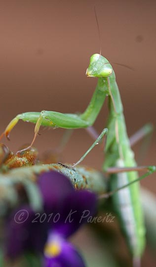 Praying Mantis1