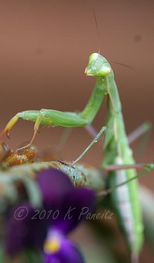 Praying Mantis1