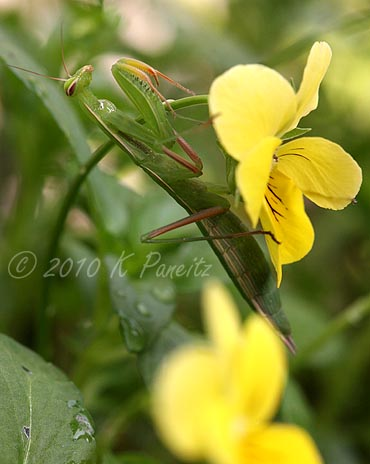 Praying Mantis on Viola