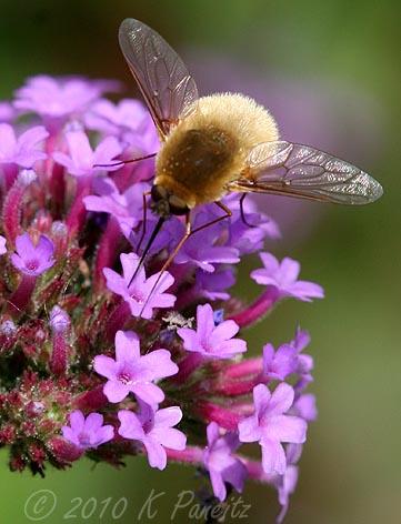 Tachinid Fly on Verbena2