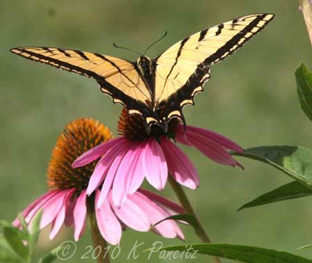 Swallowtail on Coneflower