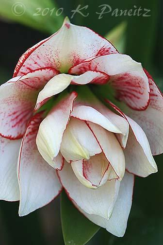Amaryllis 'Elvas' bloom