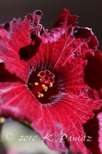 Hibiscus 'Maple Sugar'