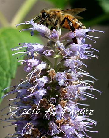 Agastache 'Blue Fortune2'