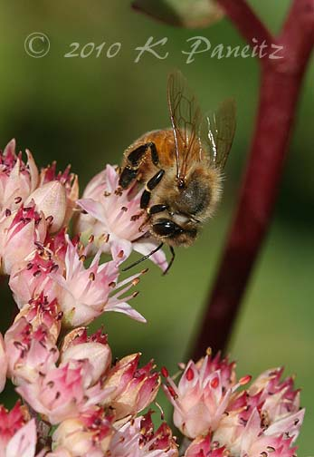 Sedum Matrona with bee