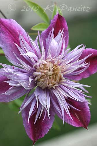 Clematis 'Josephine' Bloom2