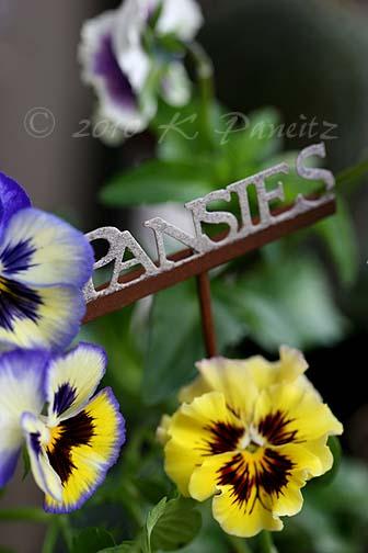 Pansies1