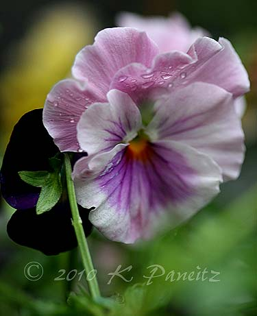 Pansies 'Flamenco mix'